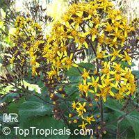 Roldana petasitis, Senecio petasitis, Velvet Groundsel, California Geranium  Click to see full-size image