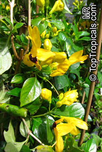 Ruttya fruticosa Yellow, Rabbits ears
