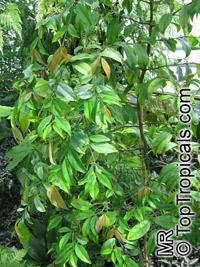 Salacia lehmbachii, SalaciaClick to see full-size image