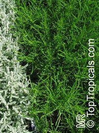 Santolina virens, Green SantolinaClick to see full-size image