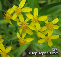 Senecio angulatus, Creeping Groundsel  Click to see full-size image