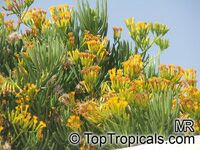 Senecio barbertonicus, Barberton Groundsel, Succulent Bush Senecio  Click to see full-size image