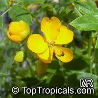 Senna corymbosa, Cassia falcata, Southern Cassia, Flowery Senna, Argentina SennaClick to see full-size image