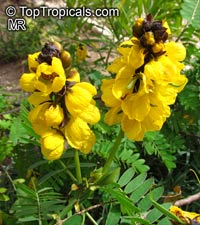 Cassia didymobotrya, Popcorn Cassia, Peanut Butter Senna  Click to see full-size image