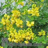Senna floribunda, Cassia floribunda, Golden Showy Cassia, Devils Finger  Click to see full-size image