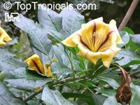 Solandra maxima, Solandra hartwegii, Solandra selerae, Butter Cup, Gold Cup, Chalice Vine, Cup-of-Gold, Trumpet Plant  Click to see full-size image