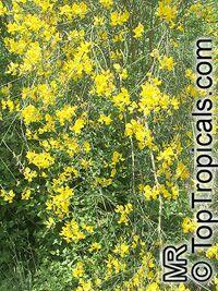 Spartium junceum, Spanish broom  Click to see full-size image