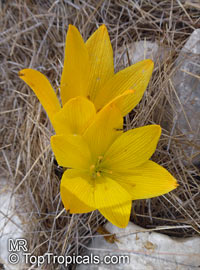 Sternbergia clusiana, Sternbergia, Autumn Crocus, Autumn Daffodil  Click to see full-size image