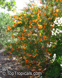 Tecoma alata, Tecoma guarume, Orange Trumpet Flower, Cahuato, Orange Bells, Yellow Bells  Click to see full-size image