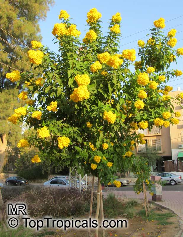 Tecoma stans bignonia stans yellow elder yellow bells tecoma stans yellow elder click to see full size image mightylinksfo