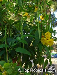 Tecoma stans, Bignonia stans, Yellow Elder, Yellow Bells