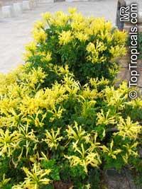 Tecomaria capensis Aurea, Tecoma capensis Aurea, Cape Honeysuckle  Click to see full-size image