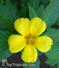 Turnera ulmifolia - Yellow Buttercup  Click to see full-size image