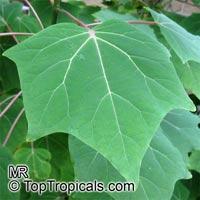 Harpagophytum leptocarpum, Uncarina leptocarpa, UncarinaClick to see full-size image