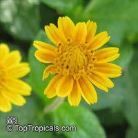 Wedelia trilobata, Sphagneticola trilobata, Wedelia, Singapore Daisy, Creeping-oxeye, Trailing Daisy  Click to see full-size image