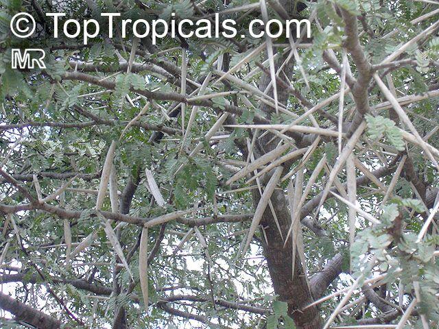 Vachellia Karroo Acacia Karroo Sweet Thorn Toptropicalscom