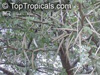 Vachellia karroo, Acacia karroo, Sweet Thorn  Click to see full-size image