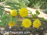 Acacia karroo, Sweet Thorn