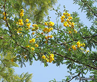 Acacia arabica - seeds