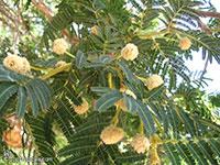 Vachellia sieberiana, Acacia sieberiana, Paperbark Thorn  Click to see full-size image