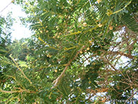 Acacia sieberiana, Paperbark Thorn