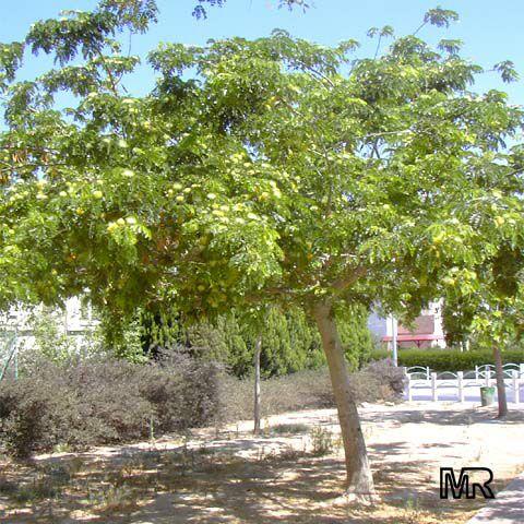 Albizia lebbeck, Mimosa lebbeck, Womans tongue, Siris-tree, Rain