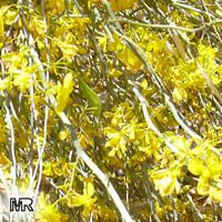 Cercidium floridum, Parkinsonia florida, Blue Palo Verde  Click to see full-size image