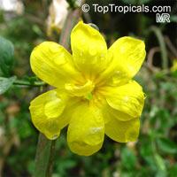 Jasminum mesnyi - Japanese JasmineClick to see full-size image