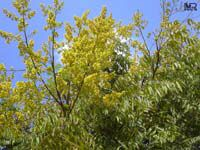 Koelreuteria paniculata, Golden Rain Tree, Varnish tree, Chinese Flame