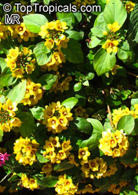 Lysimachia sp., Golden Globe  Click to see full-size image
