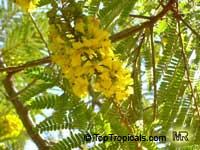 Peltophorum africanum, African Wattle, Weeping Wattle  Click to see full-size image