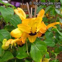 Ruttya fruticosa Yellow, Rabbits ears  Click to see full-size image