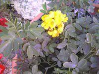 Senna pendula, Christmas senna  Click to see full-size image