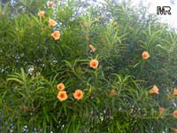 Thevetia nereifolia, Thevetia peruviana, Cascabela thevetia, Still Tree, Yellow Oleander, Lucky NutClick to see full-size image
