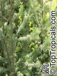 Adenanthos sericeus, Coastal Woolly Bush  Click to see full-size image