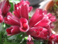 Aeschynanthus radicans, Lipstick Plant