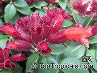 Aeschynanthus radicans, Lipstick Plant  Click to see full-size image