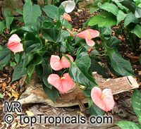 Anthurium andraeanum, Flamingo Flower, Tail Flower  Click to see full-size image