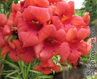 Campsis radicans - seeds  Click to see full-size image
