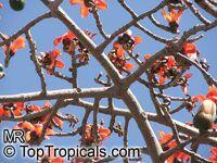 Bombax ceiba, Salmalia malabarica, Bombax malabaricum, Kapok tree, Silk Cotton TreeClick to see full-size image