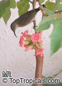 Brachychiton bidwillii, Brachychiton paradoxus var. bidwillii, Little Kurrajong  Click to see full-size image