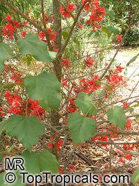 Brachychiton bidwillii, Brachychiton paradoxus var. bidwillii, Little KurrajongClick to see full-size image