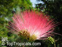 Calliandra haematocephala, Calliandra inaequilatera, Rose cascade, Blood Red Tassel FlowerClick to see full-size image
