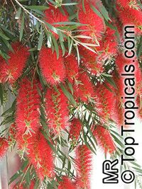Callistemon citrinus - seeds  Click to see full-size image