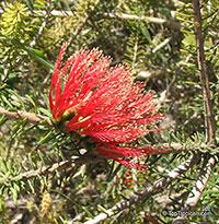 Calothamnus quadrifidus, Common Net Bush, One-sided Bottlebrush  Click to see full-size image