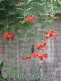 Campsis radicans, Scarlet Trumpet Vine, Red Bignonia, Blood Trumpet, Dynamic Trumpet Vine  Click to see full-size image