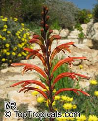 Chasmanthe floribunda, Antholyza floribunda, Pennants, African CornflagClick to see full-size image