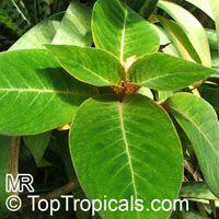 Corytoplectus capitatus, Alloplectus capitatus, Alloplectus  Click to see full-size image