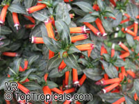 Cuphea ignea, Cigar Flower, Cigarette Plant, Firecracker Plant  Click to see full-size image