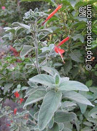 Dicliptera suberecta, Justicia suberecta, Hummingbird Plant, Uruguayan Firecracker Plant  Click to see full-size image